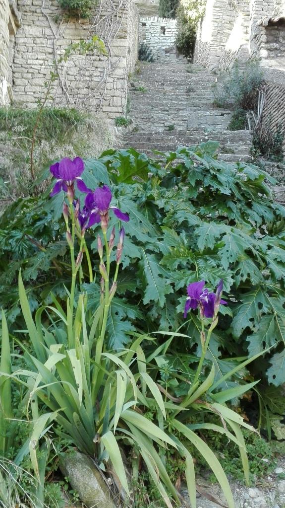 iris , février